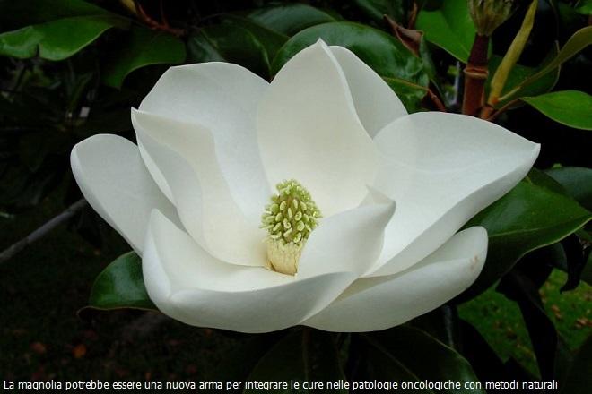 20131106-magnolia-tumori-660x440-did