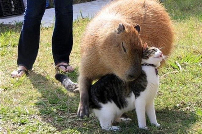 20140328-capibara-gatto-fb-660x440