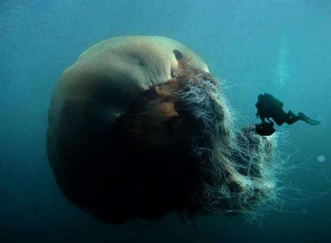 Medusa Gigante Si Arena In Australia 200 Di Un Tipo Mai